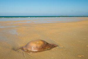 Méduse sur la plage d'Erdeven