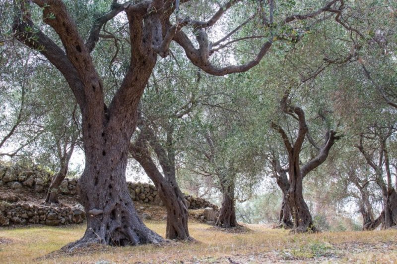 Des oliviers partout - Monténégro