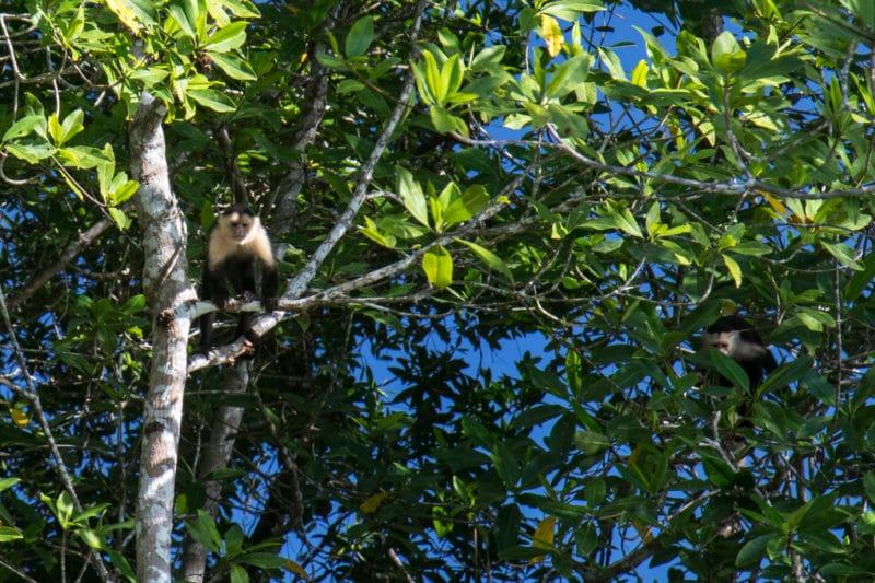 singes araignées - Golfe de Chiriqui