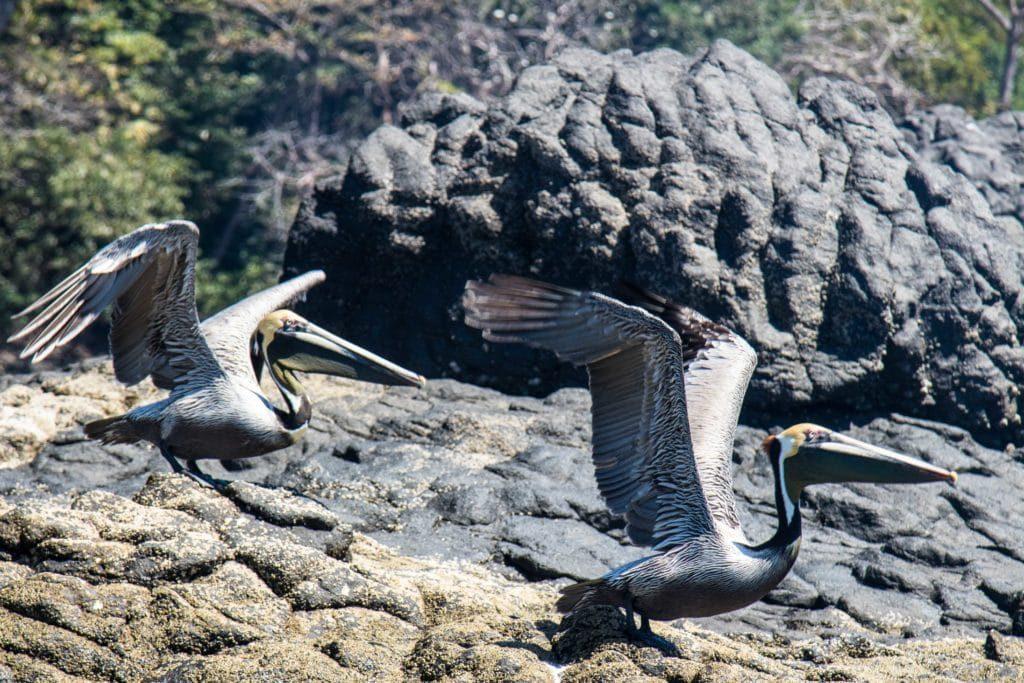 Pélicans - golfe de Chiriqui