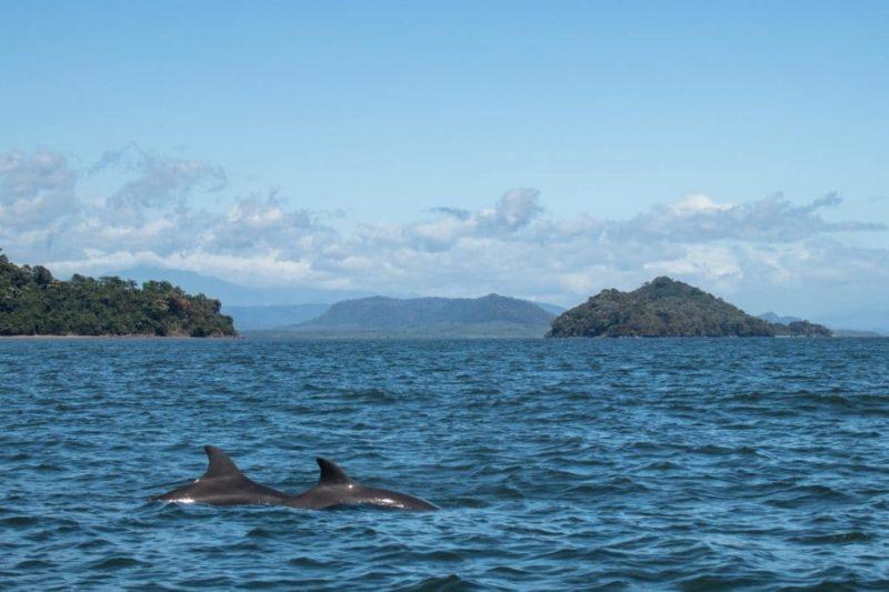 Dauphins - Golfe de Chiriqui