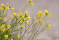 fleurs plage Saint Jacut