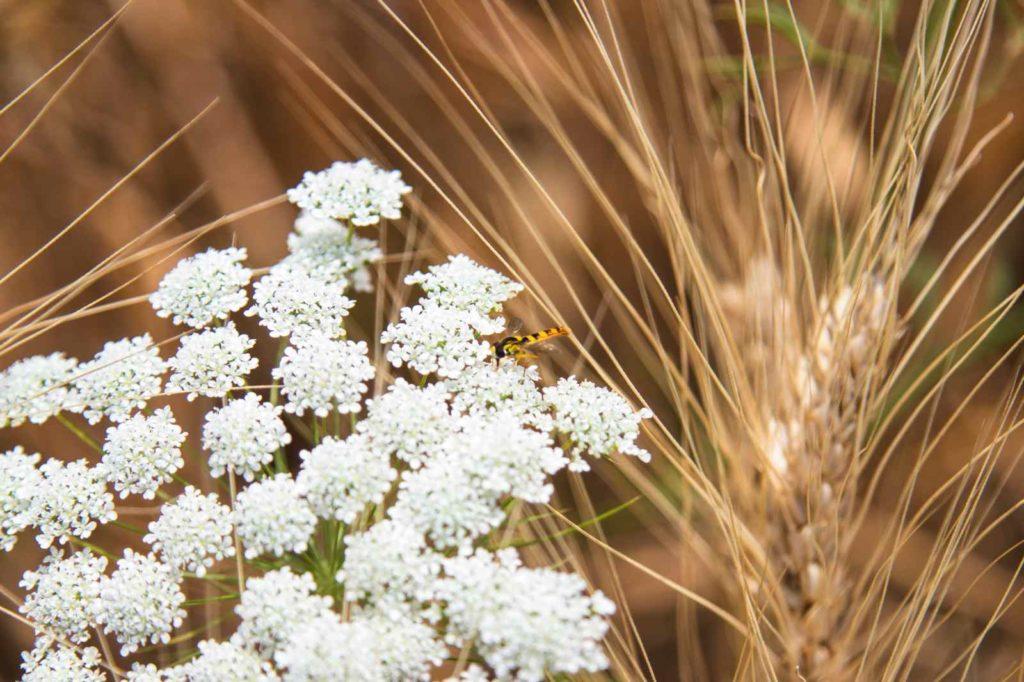 abeille - marais poitevin - Vendée