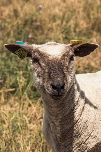 Mouton, marais côtier - Vendée