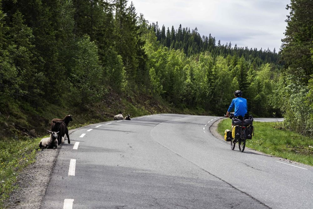 moutons - route - Norvège