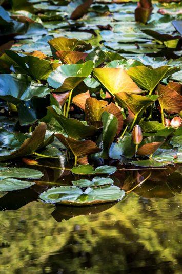 nénuphars - lever du soleil - hobro