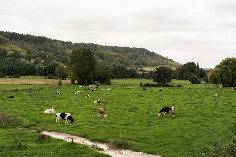 Vaches noemandes, Avenue Verte Londres-Paris