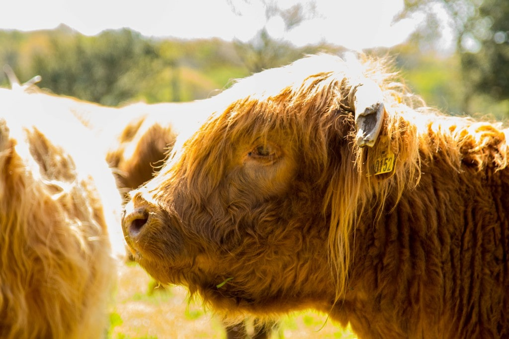 Highland Cattle au Ranch de Kerbongout