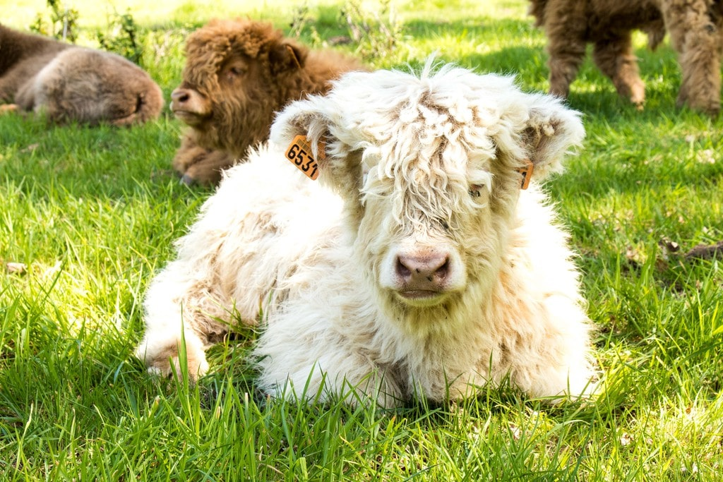 Veau Highland Cattle - Ranch de Kerbongout