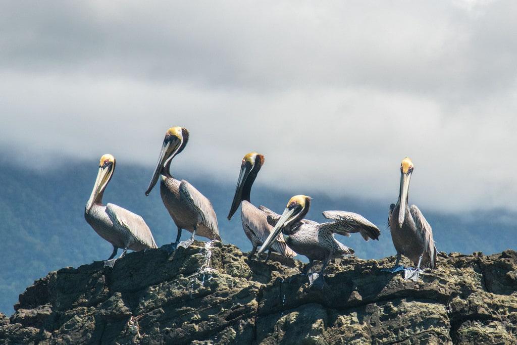 Pélicans - rocher - Costa Rica - Parc Marino Ballena