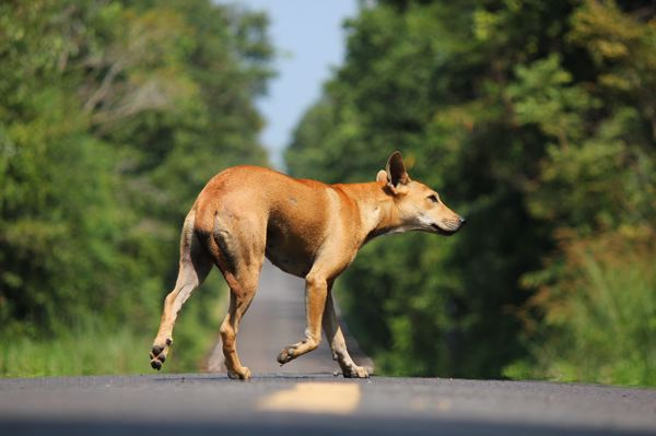Les chiens des rues - menace pour le cycliste