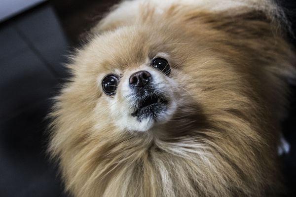 Les petits chiens, parfois plus agressifs